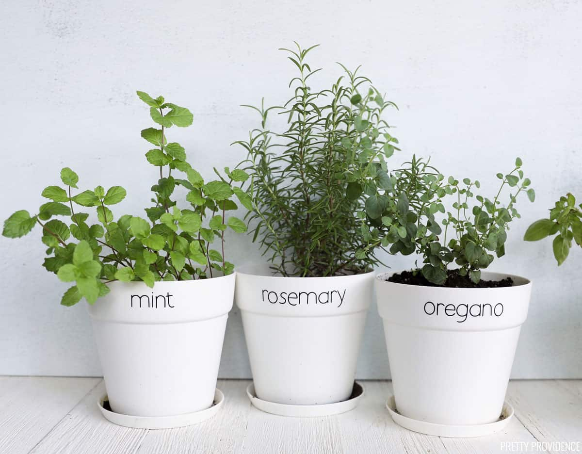 Three herb plants in white pots with labels