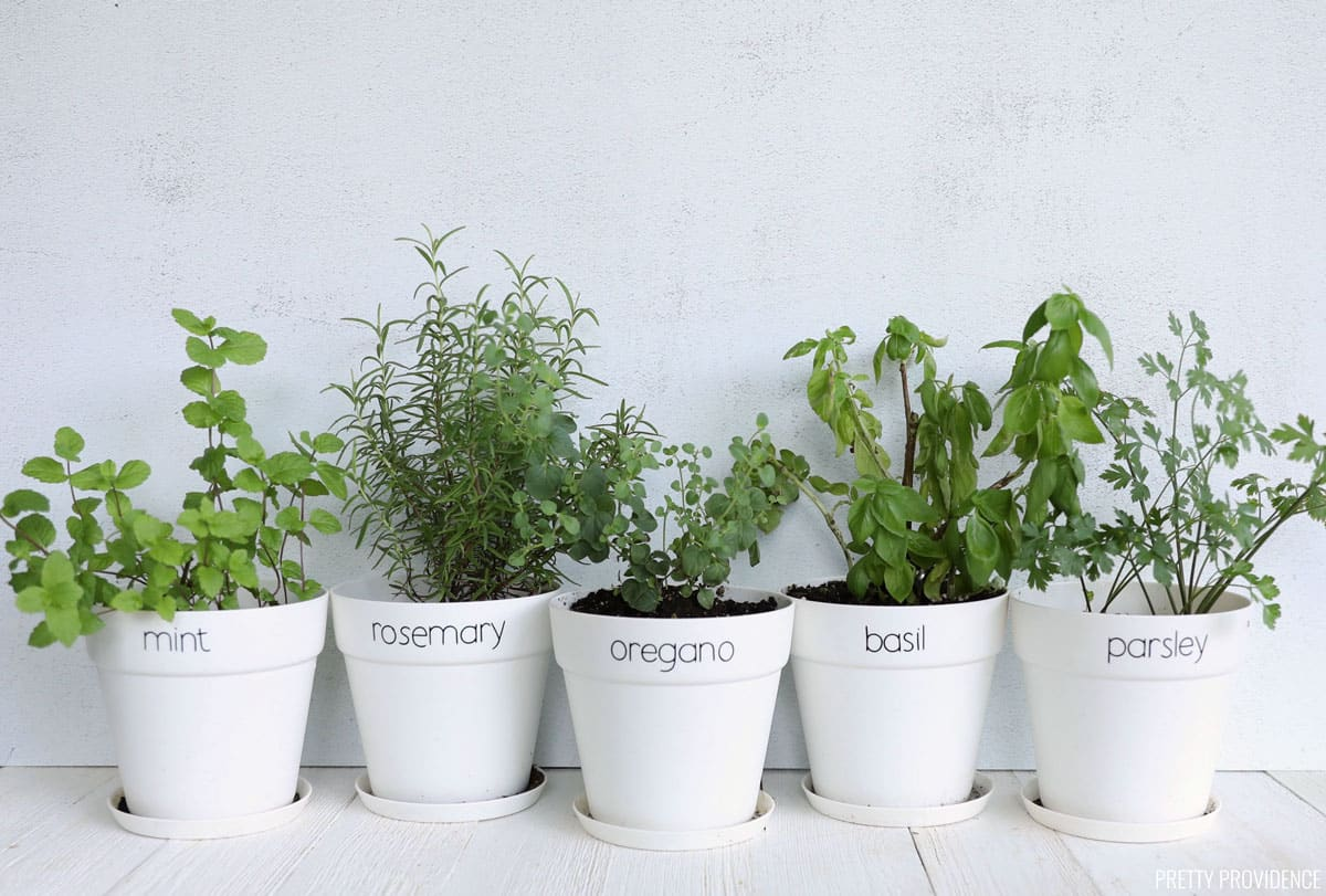 Herb garden in small white pots labeled